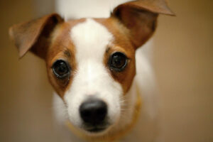 how do i stop my jack russell growling