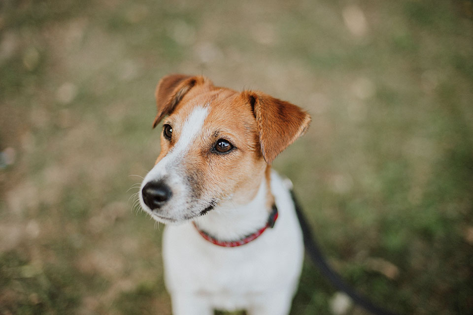 jack russell life span
