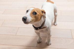 jack russell terrier bark