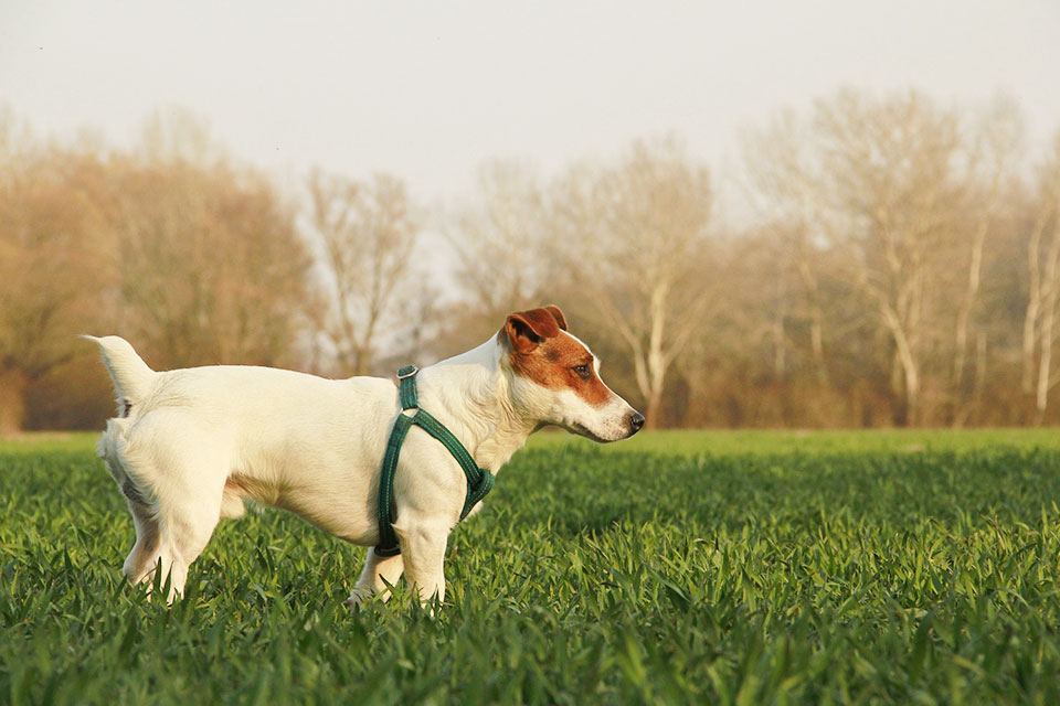 jack russell terrier environment