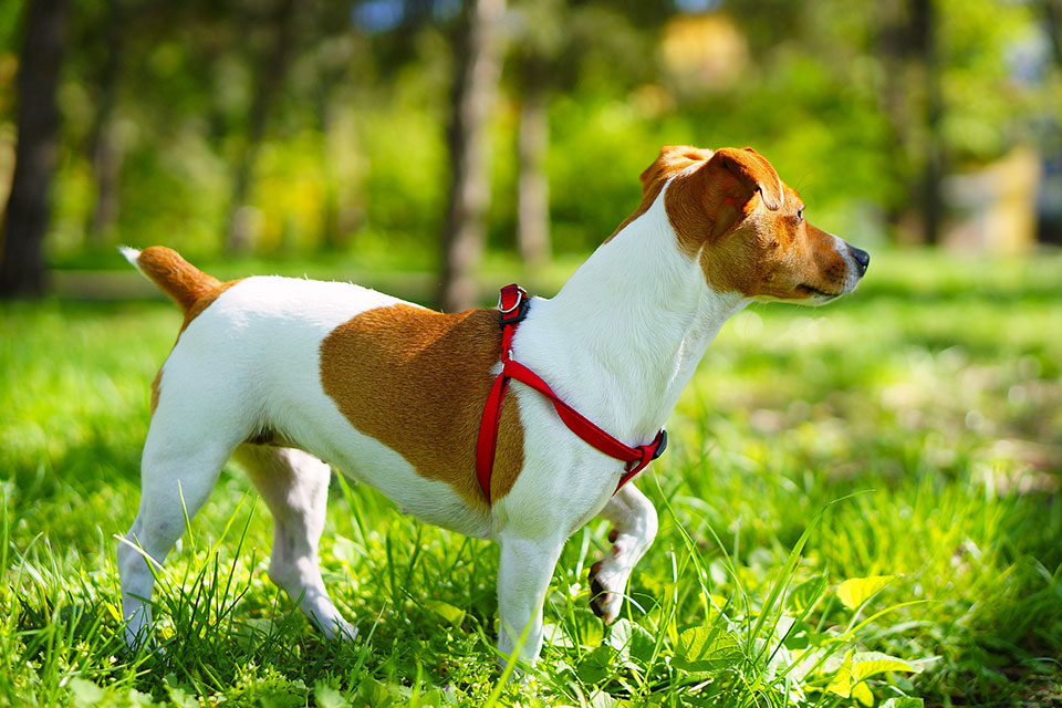 why do jack russells eat grass