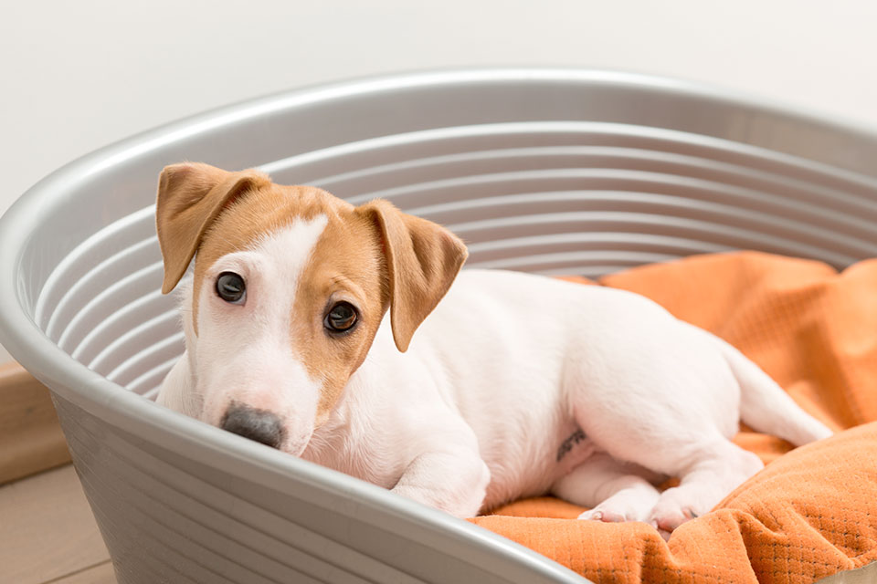 how do i stop my jack russell whining