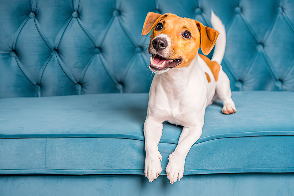 how to groom your jack russell