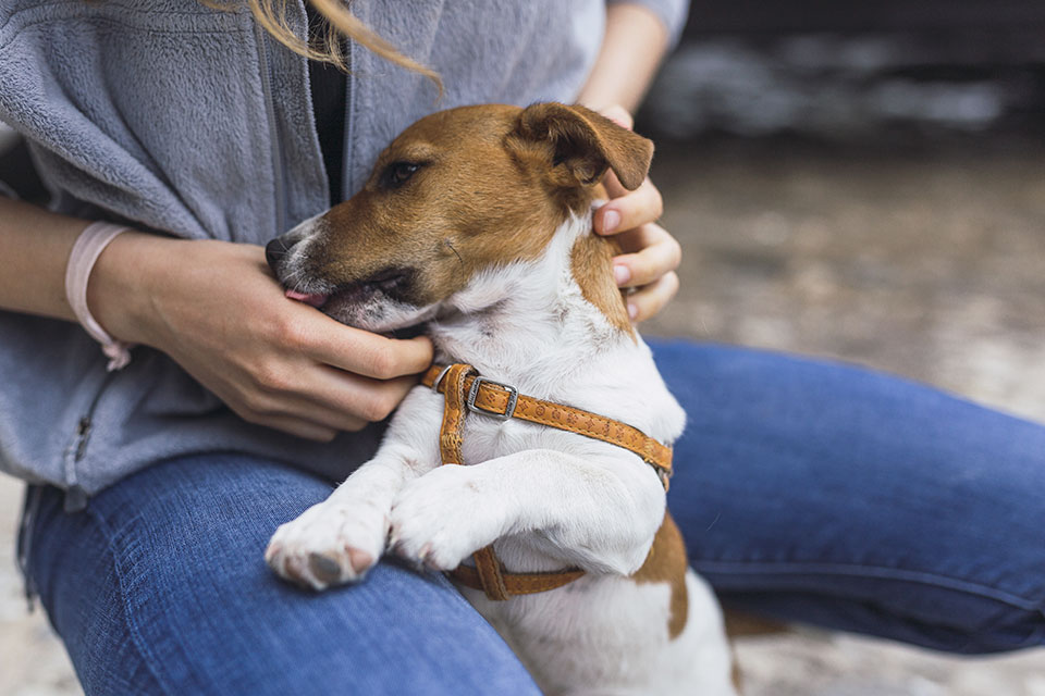 how to house train your jack russell