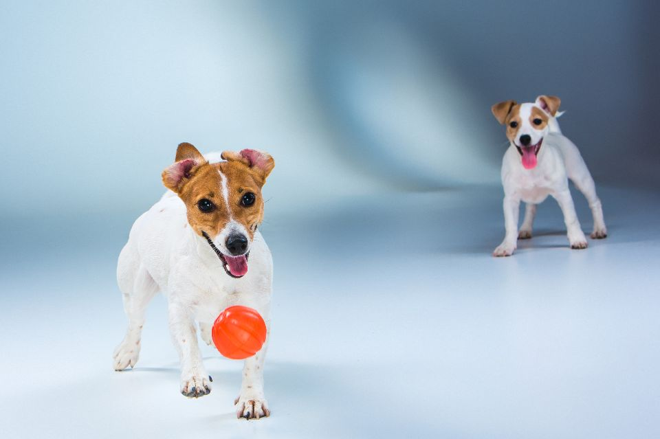 is a male or female jack russell better
