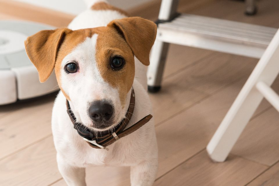 jack russell age human years
