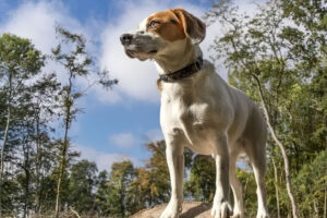 jack russell beagel mix