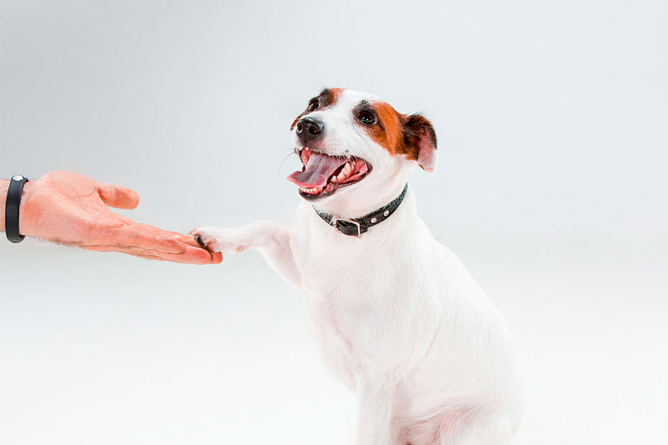 jack russell personality