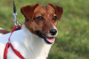 spaying cost jack russell