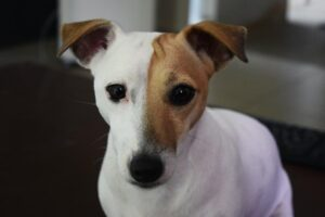 do jack russells shed