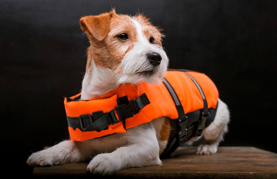 jack russell swim safety