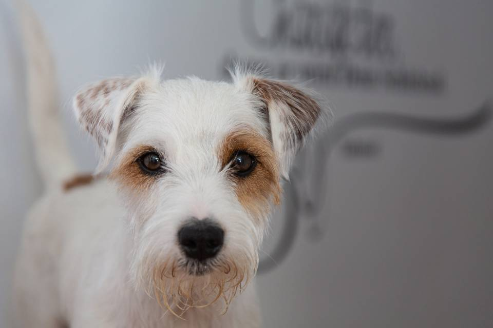 jack russell terriers vs parson russell terriers