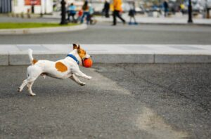 are jack russells good running dogs