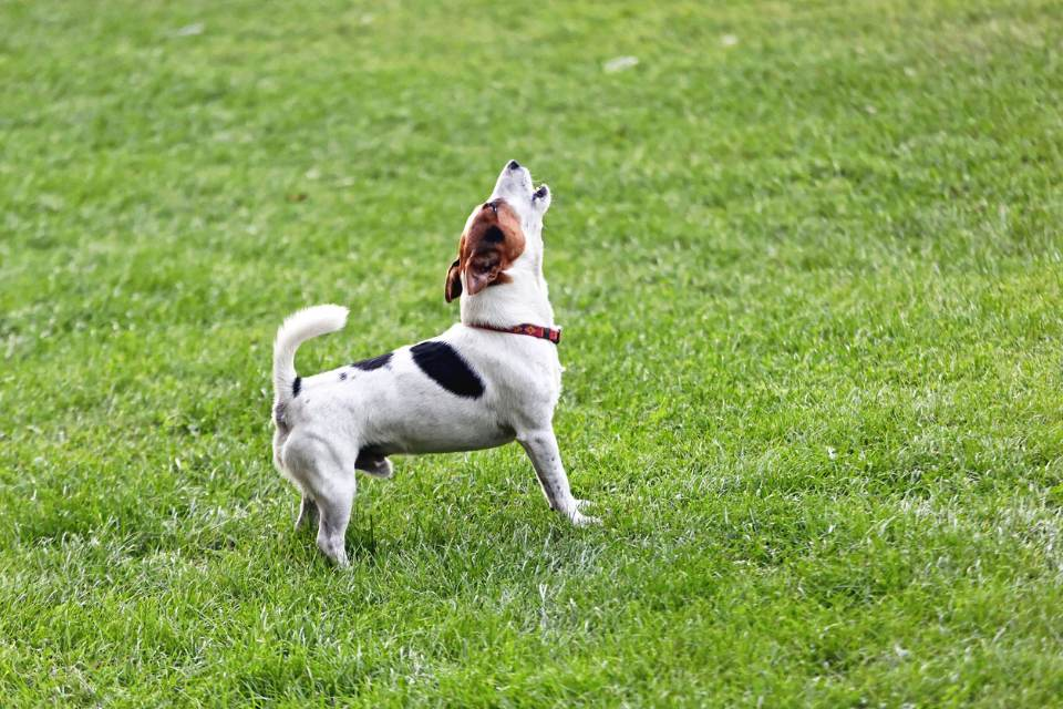 can jack russells howl