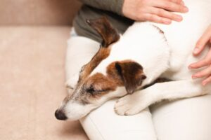 do jack russells love their owners