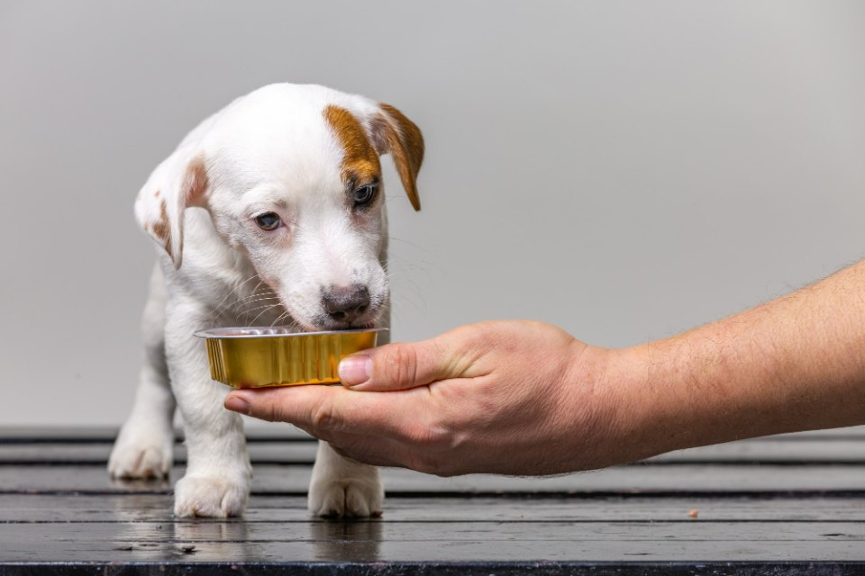 feeding your jack russell puppy