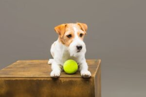 how to keep your jack russell busy