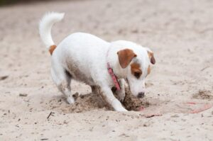 how to stop your jack russell from digging