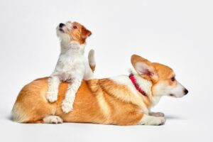 what dog breeds get along with jack russells