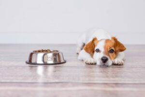 why is my jack russell terrier not eating
