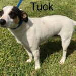 Adopt a Jack Russell - Tuck