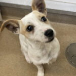 Adopt a Jack Russell - Agnes