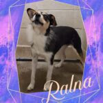 Adopt a Jack Russell - Ralna