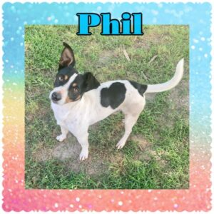 Adopt a Jack Russell - Phil