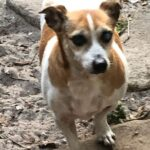 Adopt a Jack Russell - Buddy