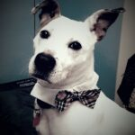 Adopt a Jack Russell - Dylan