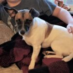 Adopt a Jack Russell - Pickles