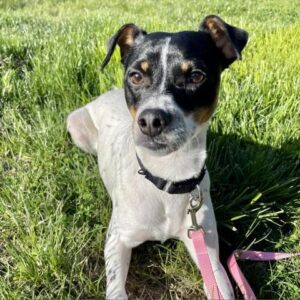Adopt a Jack Russell - Oreo