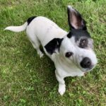 Adopt a Jack Russell - Kiss