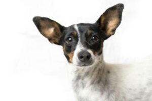 Adopt a Jack Russell - Coco Camilla