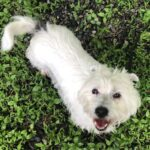 Adopt a Jack Russell - Cookie