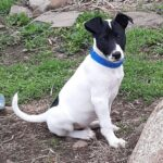 Adopt a Jack Russell - Pete