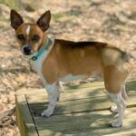 Adopt a Jack Russell - Taco