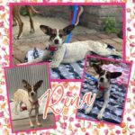 Adopt a Jack Russell - Rena