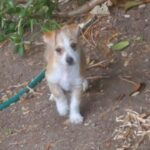 Adopt a Jack Russell - CASSIDY