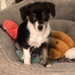 Adopt a Jack Russell - Claire