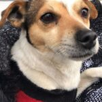 Adopt a Jack Russell - Miles