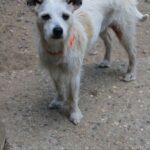 Adopt a Jack Russell - Juliette in NH