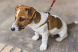 best dog harnesses jack russells