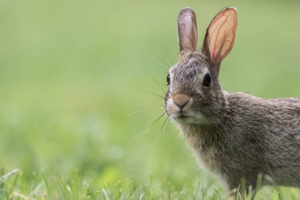 Can A Jack Russell Catch A Rabbit?