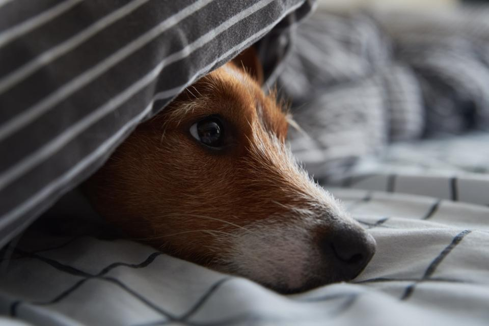comfort dying jack russell