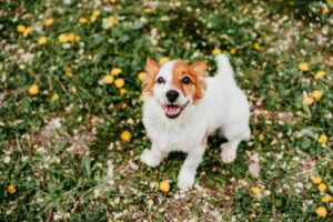 Why Does My Jack Russell's Breath Smell So Bad?
