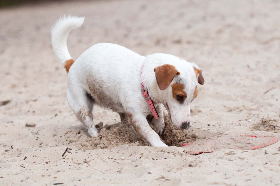 Why Does My Jack Russell Hide Things?