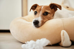 Are Jack Russells High Maintenance?