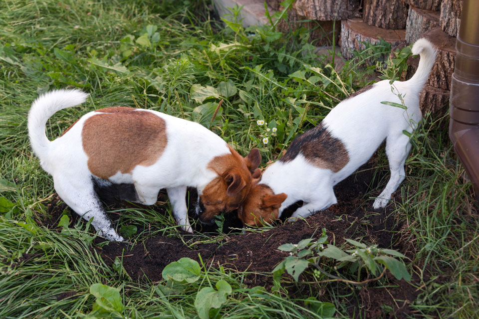 Are Jack Russells Good At Hunting Rats?