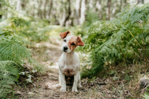 Are Jack Russells Good Hiking Dogs?
